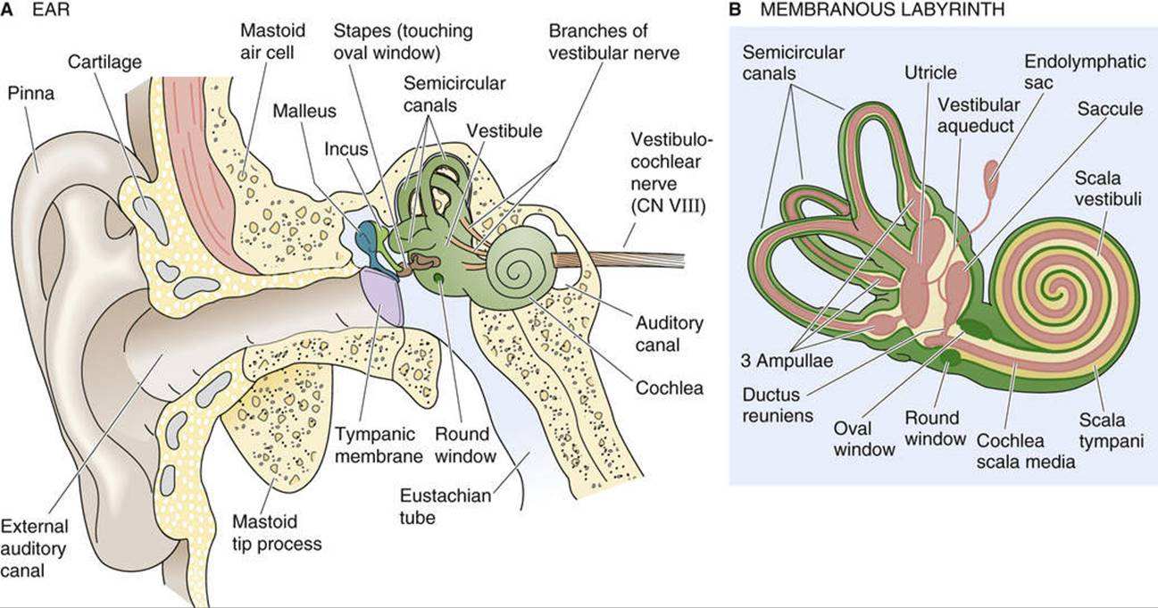 hight resolution of figure 15 17 the ear cochlea and semicircular canals a this section through the right ear of a human shows the outer middle and inner ear