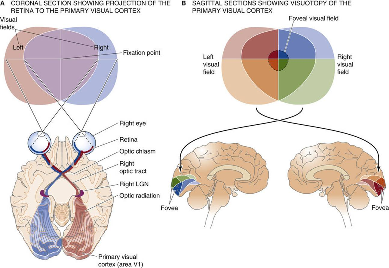 Spatial Representations Sensory And Motor Maps In The Brain