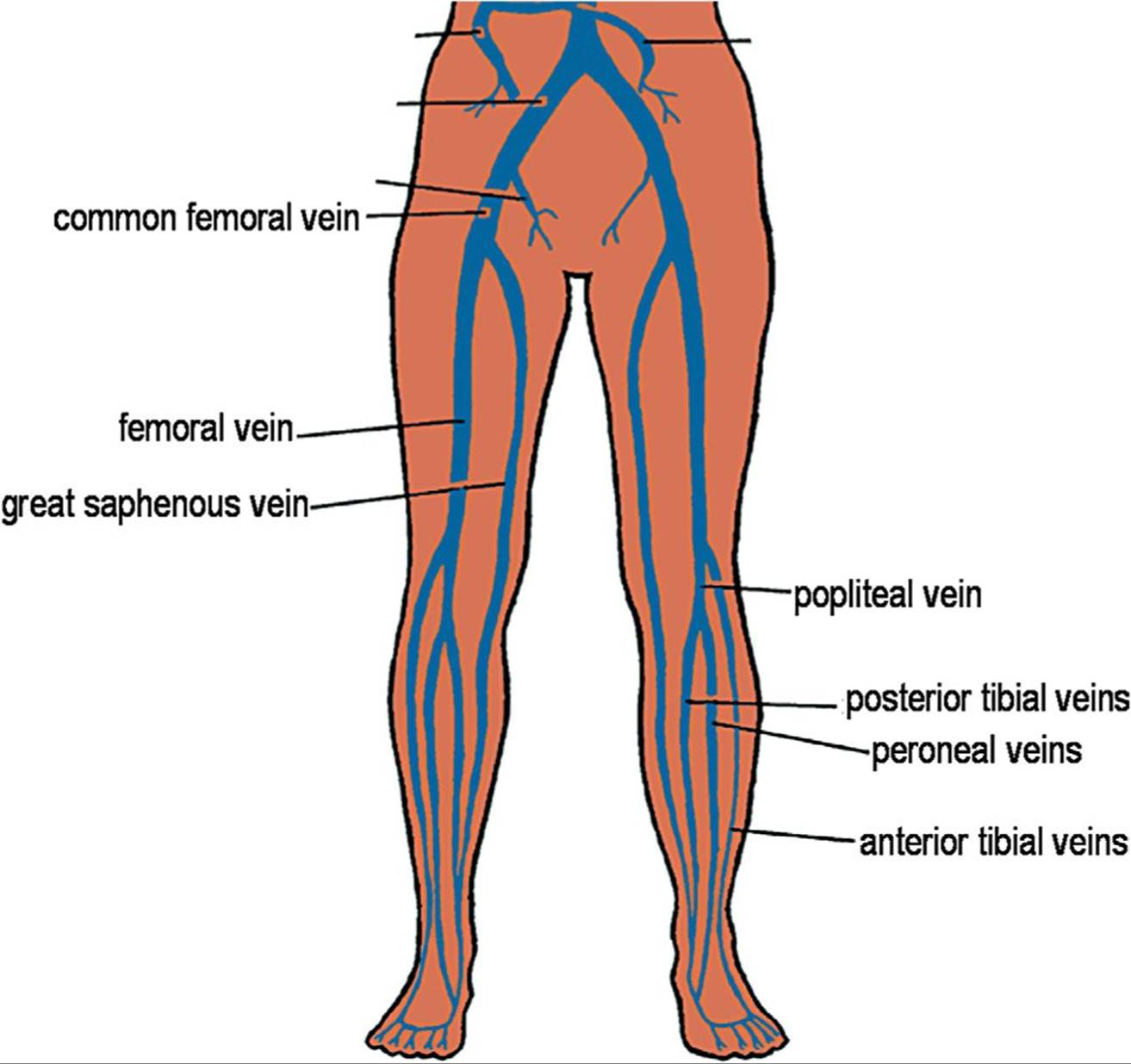 foot pulses diagram er for hospital management of lower extremity free wiring you peripheral vein aorta elsavadorla vessels arteries