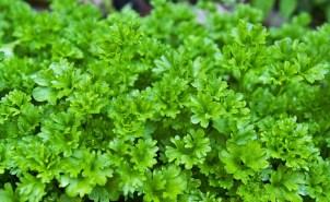 parsley-1444019_1920