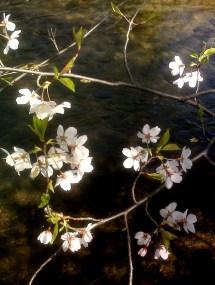 Blossom Cherry Creek