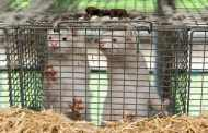 Europe tries to shut down new coronavirus strain from Danish mink farms