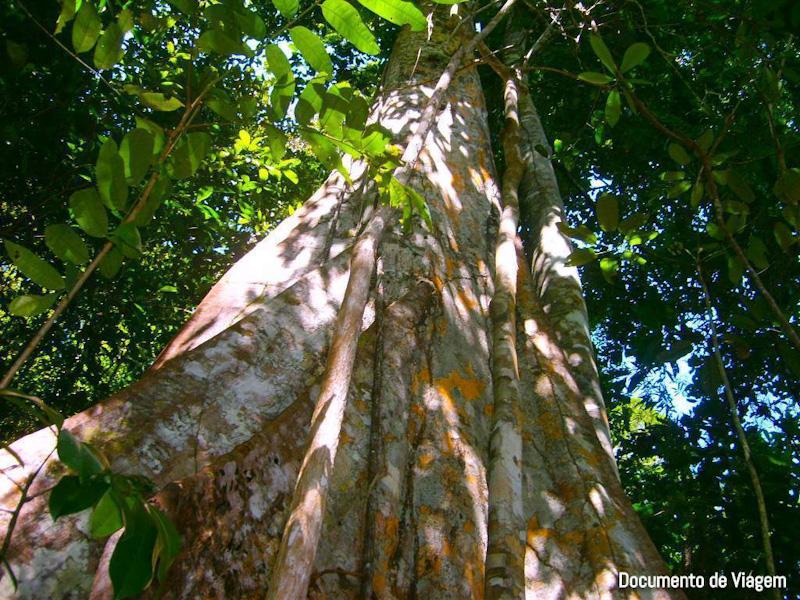 Árvore Gindiba