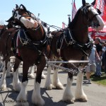 budweiser clydesdale mugging for camera