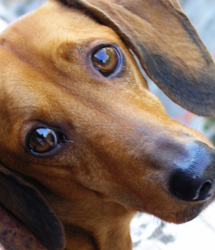 dachsund-eyes.jpg?fit=420%2C488&ssl=1
