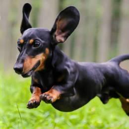Dog back pain disc disease – IVDD