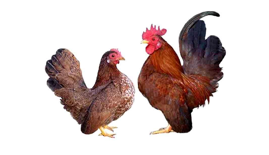 Ayamayam paling unik di dunia  Cakrawala