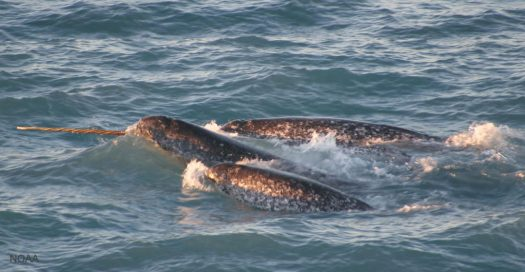 Pod of Narwhals with Single Spiral Tusk Visible