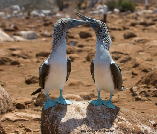 Blue-Footed Boobies on the Galapagos Islands