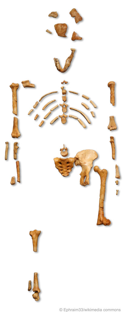 Lucy Fossil Skeleton
