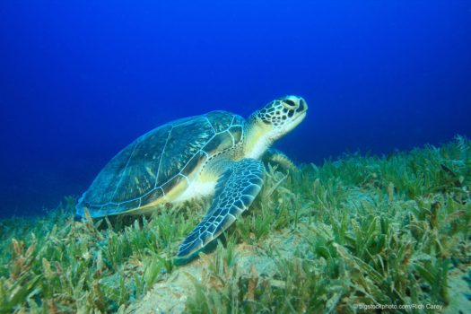Seagrass and Green Sea Turtle