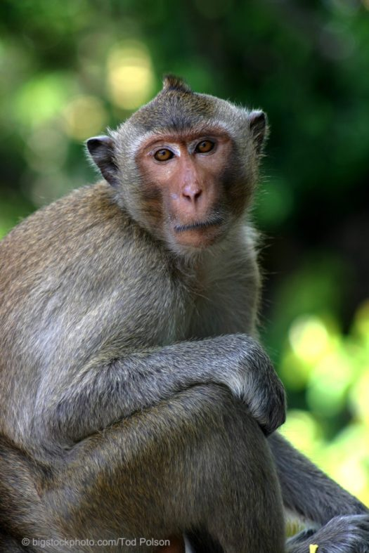 Cloned Monkeys — Humans Next?