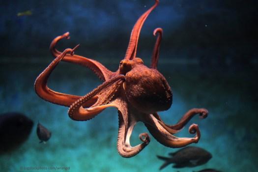 Octopus - Intelligent Alien