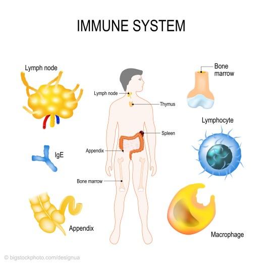 Vestigial Organs - Appendix and Immune System