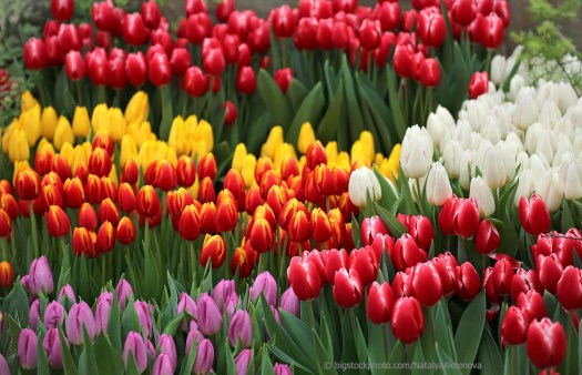 Beautiful Tulips in History and Culture