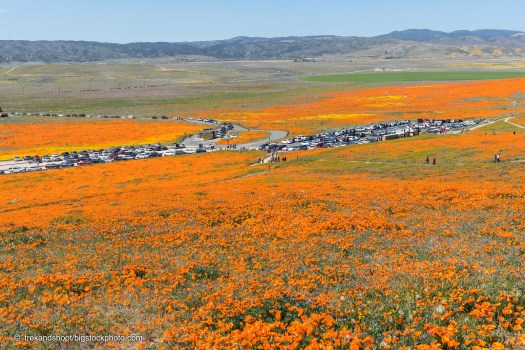 California Poppies Thrive