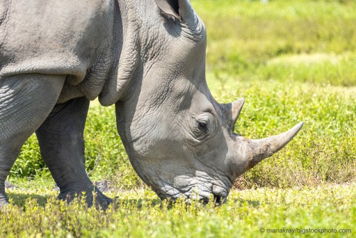 Rhino Horns and Poachers