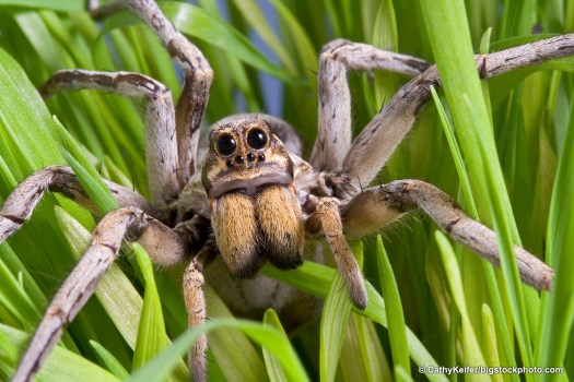 Wolf Spiders are One of God's Dandy Designs
