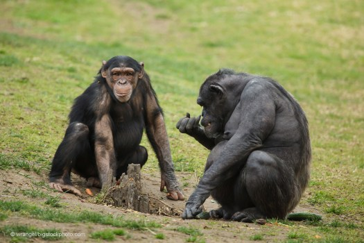 Chimpanzees and Humans
