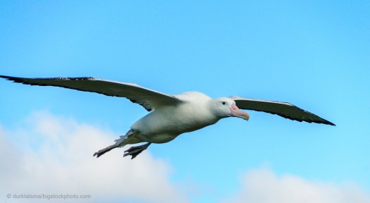 Wandering Albatross - How Do Sea Animals Drink Water?