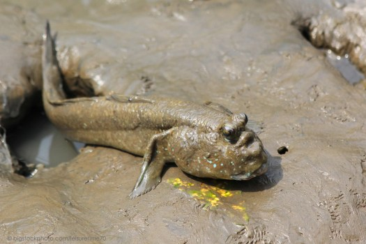 Mudskipper - Fish That Can Live Out of Water