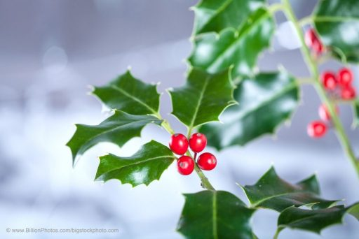 Christmas Holly Is a Reminder