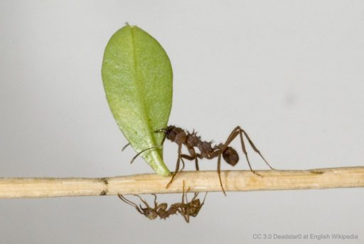 Ant Armor for Leafcutter Ants