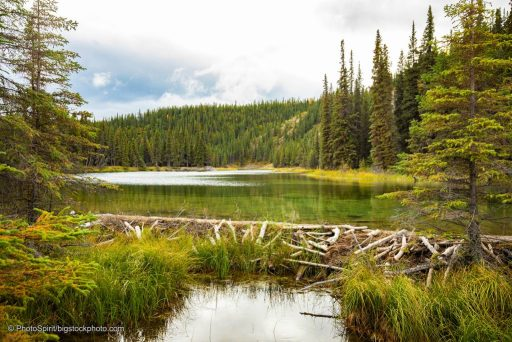 Natural Solutions for Wildfires and Drought - Beaver Dams