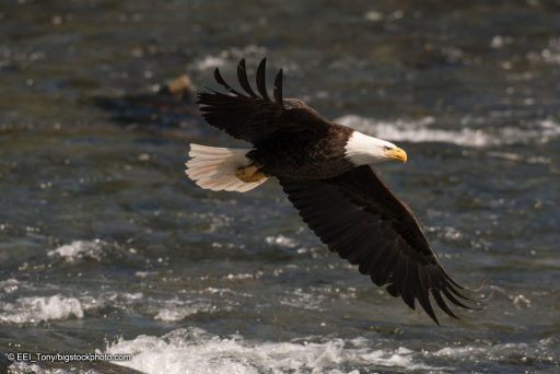 The Wonder of Birds - Bald Eagle