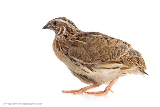 Wind Bringing Quails - common quails in Gaza today