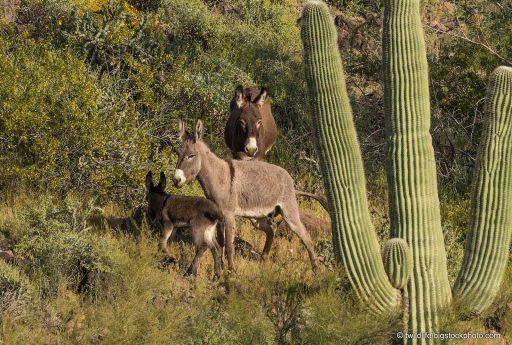 Donkeys Digging Wells in the Desert