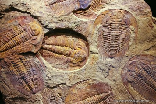 What I Learned in Paleontology Class - Trilobite Fossils