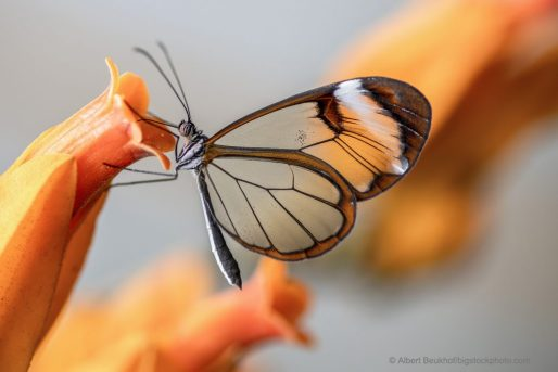 Glasswing Butterflies – Practically Invisible