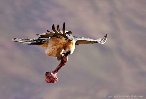 The Bearded Vulture – A Bone Eater