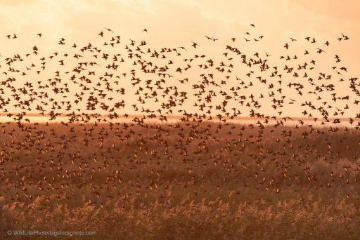 Flocking Behavior or Murmuration