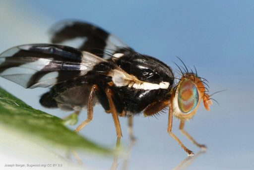 Understanding Insect Brains -Apple Fly