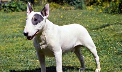 """Bull Terrier aka """"Truth"""""""