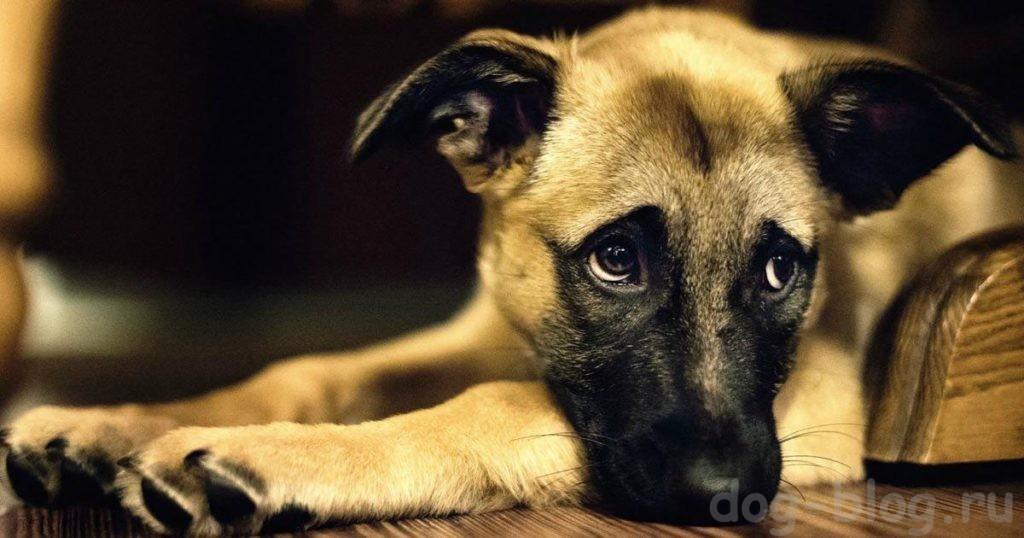 The dog howls - apa yang perlu dilakukan  Hill's - Bagaimana