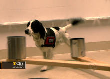 U.K. dogs training to sniff out bladder cancer