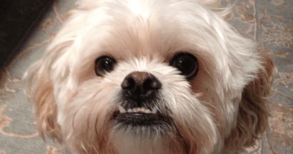 Designer Dogs - Pekapoo