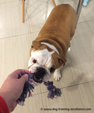Georgia Bulldog Puppies : georgia, bulldog, puppies, Unforgetabble, Bulldog, Names, Begin, Beautiful, Friendship