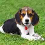 Where To Find Pocket Beagle Puppies For Sale Dogable