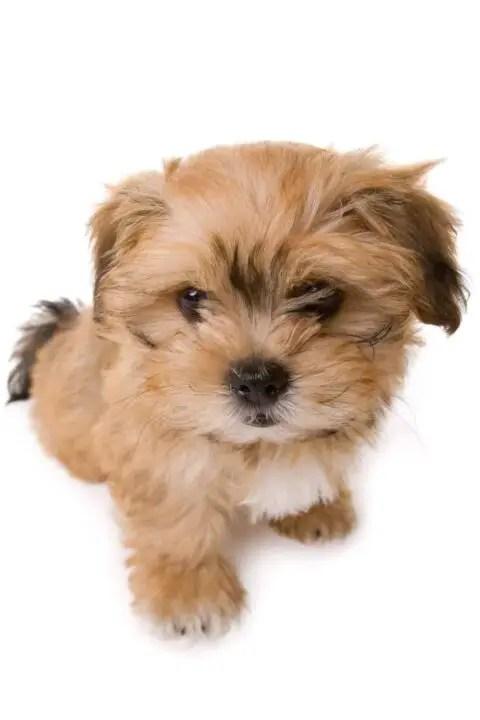 Shichon Puppies For Sale Near Me : shichon, puppies, Where, Shichon, Puppies, Dogable