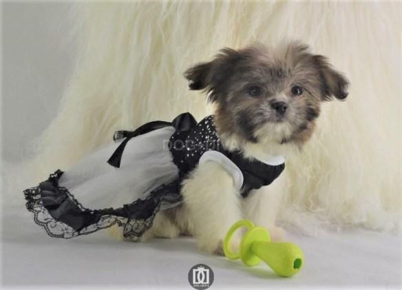 Model Princess Juliette Nano Sized Mi Ki Breed Puppy Canine Fashion