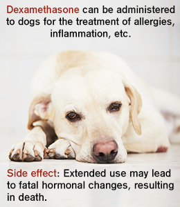 Dexamethasone for Dogs: Uses and Side Effects - DogAppy