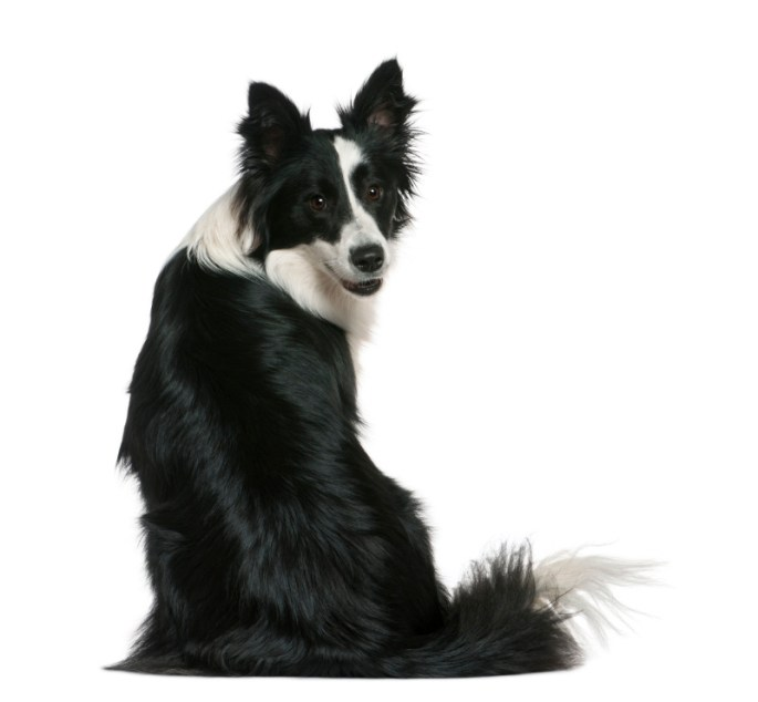 Border Collie, 16 months old, sitting in front of white backgrou