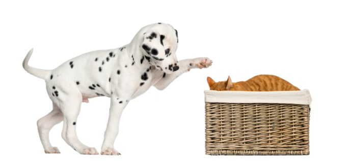 Dalmatian puppy playing with a cat hiding in a basket
