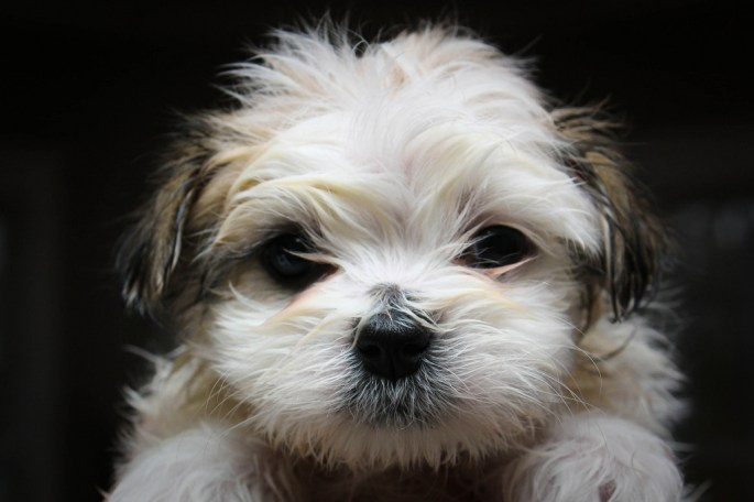 maltesedogbehaviorblog