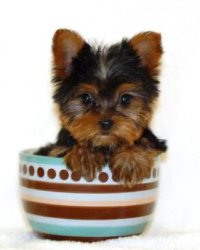 Teacup Dogs All About Teacup Puppies