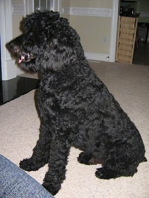 Rottweiler Poodle Puppies : rottweiler, poodle, puppies, Rottle, Breed, Information, Pictures